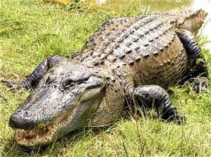 Top 10 do Reino Animal: Grandes mordidas Ali1-300x224