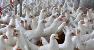 Avicultores têm um ano para se adaptar a novas normas contra gripe aviária